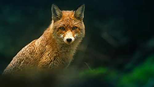 image of a fox in the woods
